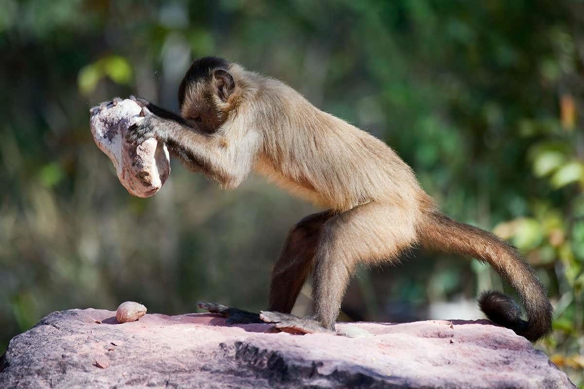 A bearded capuchin, Brazil, using a hardware tool to get those cashews.